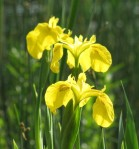 yellow iris-cropped macro